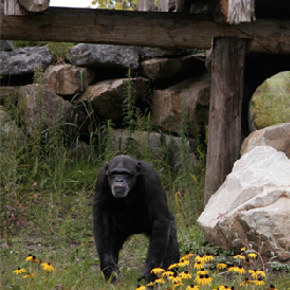 Promises to Keep: The Fauna Foundation Chimpanzee Sanctuary