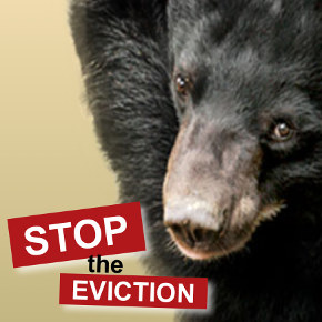 Bears and Bull: Animals Asia Works to Reveal the Lies, and Stop the Eviction