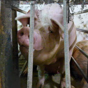 Mercy for Animals Canada Stuns Canadians with Undercover Video from a Manitoba Pig Farm
