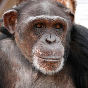 We Are Family: Diana Goodrich Introduces Us to the Residents of Chimpanzee Sanctuary Northwest