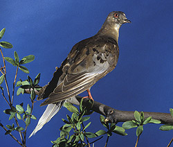 """Martha,"" the last known passenger pigeon. Photo by Carl Hansen, Smithsonian Institution, 1985"