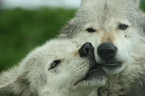 """""""There's No Business on a Dead Planet"""": Sadie Parr on the Killing of Wolves in our West CoastWilderness"""